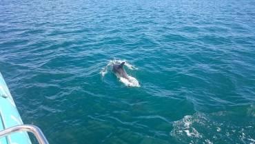 Les dauphins sont revenus à Dinard